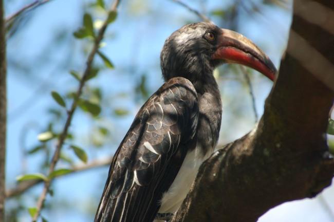 Hemprichshornbill